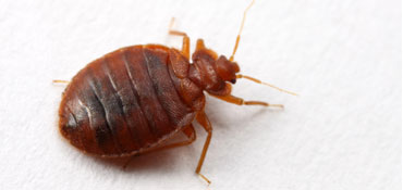 Bed Bugs Control Service