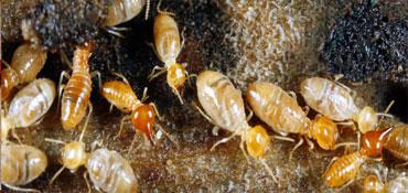 Pre Termite Control